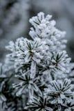 Vorst behandelde jeneverbessentak op de winterdag stock fotografie
