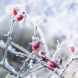Vorst behandelde rozebottel tegen heldere natuurlijke achtergrond stock foto
