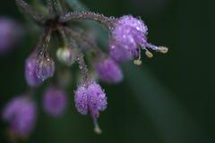 Vorst die op purpere bloemen smelt royalty-vrije stock afbeeldingen