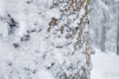 Vorst op de boomstam van de Pijnboomboom Stock Foto's