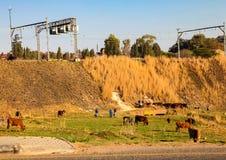 Vorstadtweiden lassen des Viehs in Soweto Lizenzfreies Stockbild