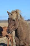Vorstelijk Ijslands Paard met Blondemanen royalty-vrije stock afbeelding