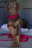 Vorstelijk puppy stock foto's