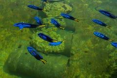 Vorstelijk Vreedzaam blauw Tang stock afbeeldingen