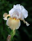 Vorstelijke Iris Royalty-vrije Stock Foto