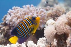 Vorstelijke Zeeëngel op Coral Reef stock afbeelding