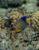 Vorstelijke zeeëngel - pygoplites diacanthusportret Stock Foto