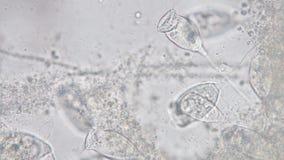 Vorticella род protozoan акции видеоматериалы
