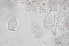 Vorticella Image stock