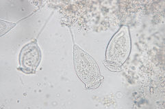 Vorticella stock image