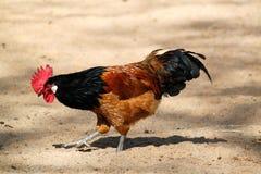 Vorwerk chicken. A vorwerk chicken is walking in the sand Royalty Free Stock Photography
