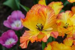 Vorzügliche Vielzahl Tulpen karibischen Papageien in Keukenhof-Gärten Rote gelbe geblühte Tulpe Lizenzfreie Stockbilder