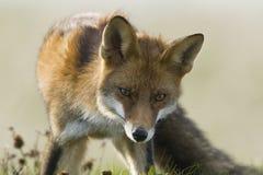 Vos, Czerwony Fox, Vulpes vulpes zdjęcie stock