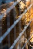 Vos in de dierentuin Royalty-vrije Stock Afbeeldingen