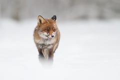 Vos in de sneeuw Stock Fotografie