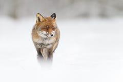 Vos in de sneeuw Stock Foto