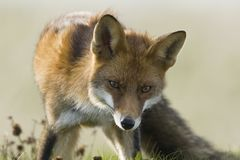 Vos, Red Fox, Vulpes vulpes. Vos jagend in wegberm Nederland, Red Fox hunting along road Netherlands stock photo