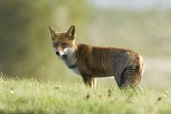 Vos, Red Fox, Vulpes vulpes. Vos in wegberm Nederland, Red Fox along road Netherlands royalty free stock image