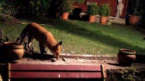 Vos in stedelijke tuin stock video