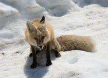 Vos uit in de sneeuw Royalty-vrije Stock Fotografie