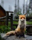 Vos in vrije wildernis royalty-vrije stock foto's