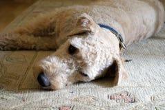 Vos wire-haired hol in de rest op het tapijt Stock Foto's