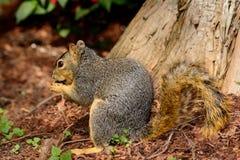 Voseekhoorn die in pecannootshells situeren die noten eten stock foto