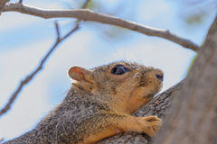 Voseekhoorn die zich aan boomtak vastklampt, vage blauwe achtergrond Stock Foto's