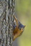 Voseekhoorn met komische nieuwsgierige nieuwsgierige uitdrukking terwijl het hangen aan kant van boom royalty-vrije stock foto's