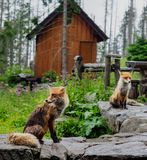 Vossen in vrije wildernis stock fotografie