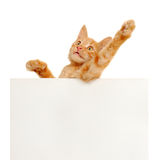 Vote for red cats! Stock Photography