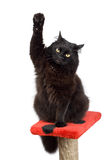 Voting black cat Royalty Free Stock Image