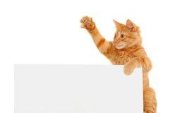 Voto para los gatos Imagen de archivo libre de regalías