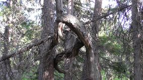 Vottovaara Karelia - уродское дерево, связанное узел стоковое фото rf