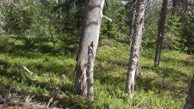 Vottovaara Karelia - ett träd med en vriden stam Arkivbilder