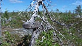 Vottovaara Karelia - fula träd Royaltyfria Foton