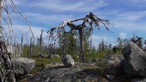 Vottovaara Karelia - fula träd Arkivbilder