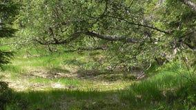 Vottovaara Karelia - fult träd Arkivbild