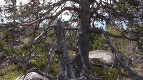 Vottovaara Karelia - fult träd Royaltyfria Foton