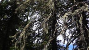 Vottovaara Karelia - granträd med kvasten för häxa` s Royaltyfria Foton