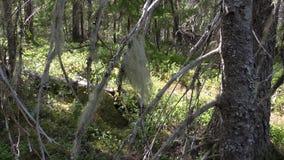 Vottovaara Karelia - kvaster för häxa` s på trädet Arkivbilder