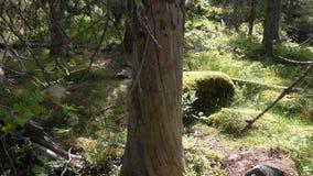 Vottovaara Karelia - vrid stammen av trädet Arkivfoto