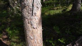 Vottovaara Karelia - vrid stammen av trädet Arkivbilder