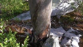 Vottovaara Karelia - vriden trädstam Arkivfoto