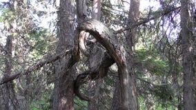 Vottovaara Karelien - hässlicher Baum, gebunden der Knoten lizenzfreies stockfoto