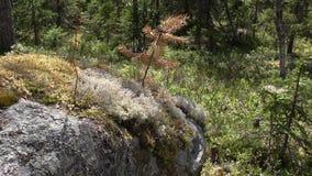 Vottovaara lilla Karelia - sörja växer på stenen Sade royaltyfri foto
