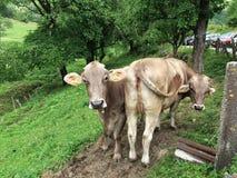Vous avez l'attention des deux vaches sur un pâturage photo libre de droits