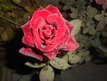 Vous pouvez vous casser, vous pouvez briser le vase, si vous, mais le parfum des roses accrochera toujours autour de lui Images libres de droits
