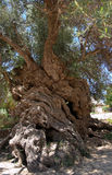 Vouves olive tree. The ancient olive tree at Vouves, Kolimbari, Crete, which has been designated a Natural Monument royalty free stock images