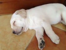 Vovve för hund för lobbyLabrodor valp Arkivfoto